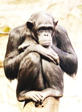 La scimmia è l'essenza 02
