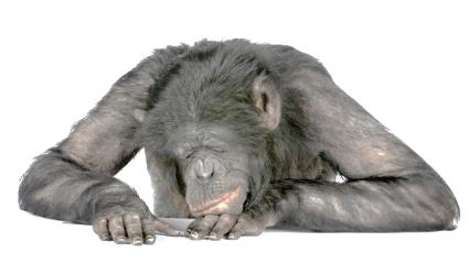 La scimmia è l'essenza 04
